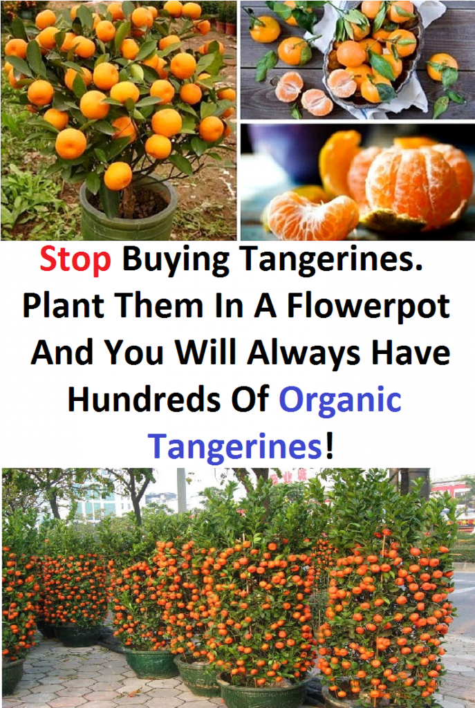 Stop Buying Tangerines. Plant Them In A Flowerpot And You Will Always Have Hundreds Of Organic Tangerines!